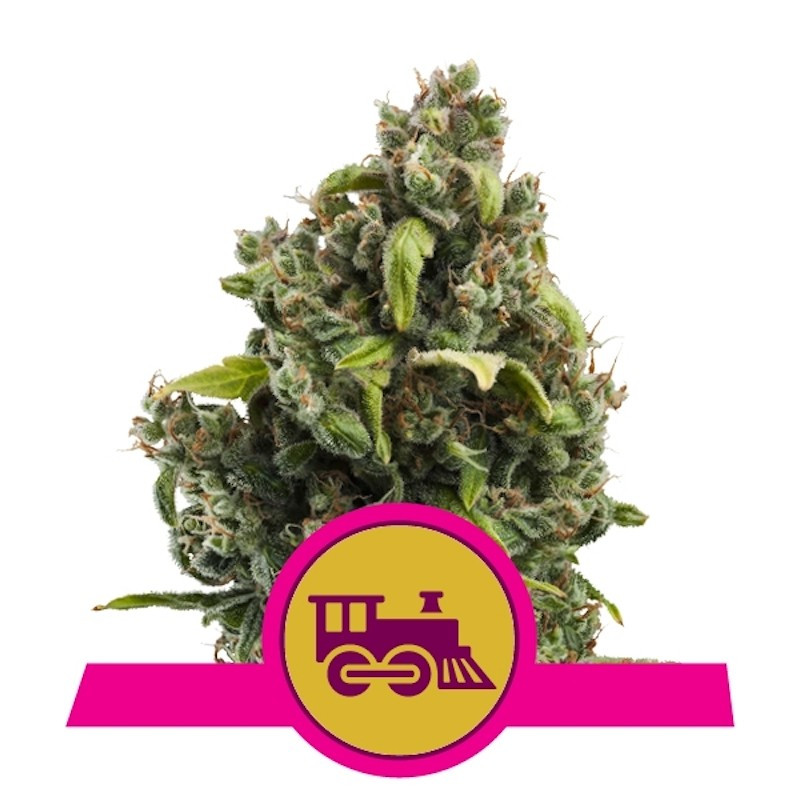 Candy kush express fast version royal queen seeds
