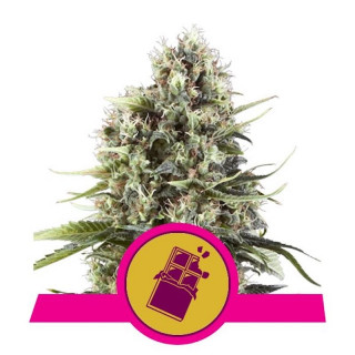 Chocolate haze royal queen seeds 23,00 €
