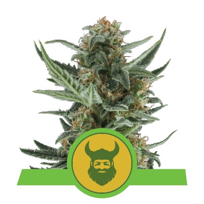 Royal dwarf auto royal queen seeds