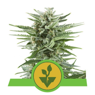 Easy bud auto royal queen seeds 17,50 €