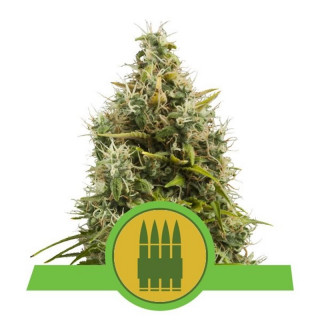 Royal ak auto royal queen seeds 21,50 €