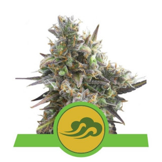 Royal bluematic auto royal queen seeds