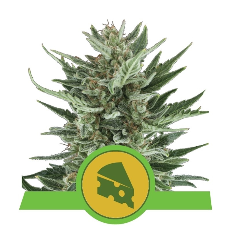 Royal cheese auto royal queen seeds 20,00 €