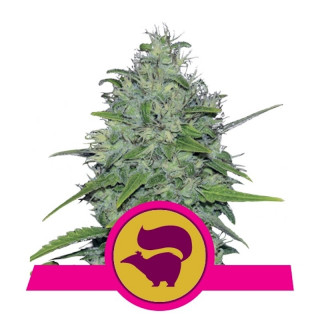 Skunk xl royal queen seeds féminisée