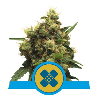 Painkiller xl CBD royal queen seeds