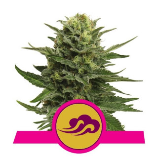 Blue mystic royal queen seeds 20,00 €