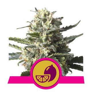 Lemon shining silver haze - RQS 21,50 €