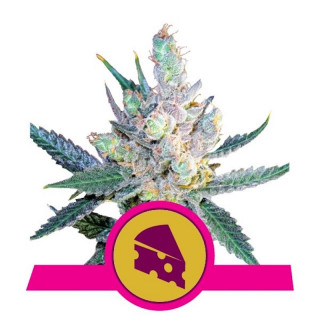 Royal cheese fast royal queen seeds 20,00 €