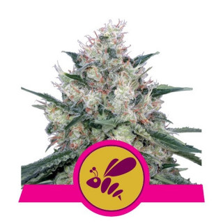 Honey cream fast royal queen seeds 20,00 €