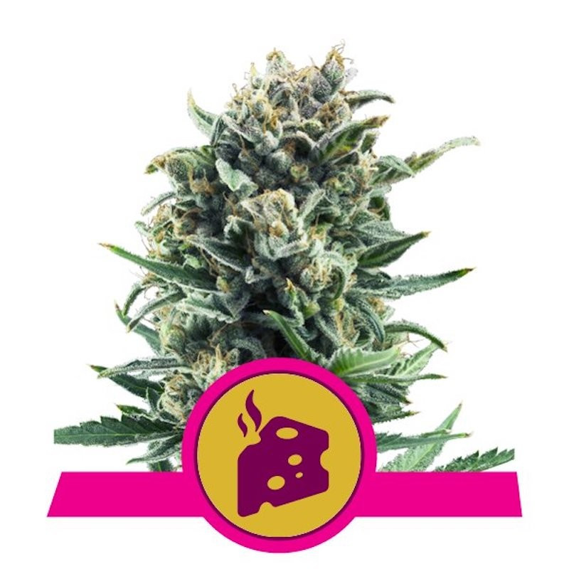 Blue cheese royal queen qeeds