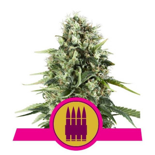 Royal AK royal queen seeds féminisée