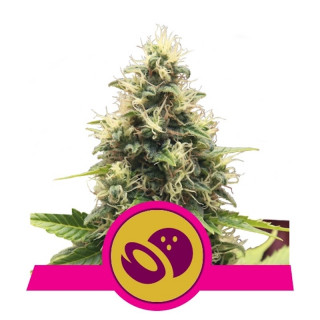 Somango xl royal queen seeds 25,00 €