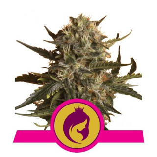 Royal madre royal queen seeds 23,00 €