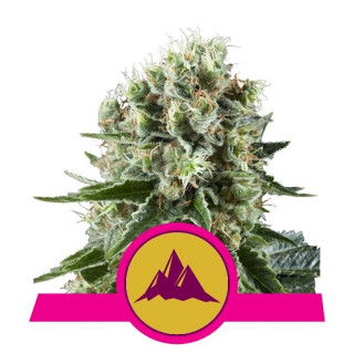 Critical kush royal queen seeds 21,50 €
