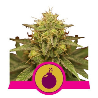 Royal domina royal queen seeds 23,00 €