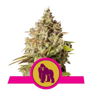 Royal gorilla royal queen seeds 27,00 €