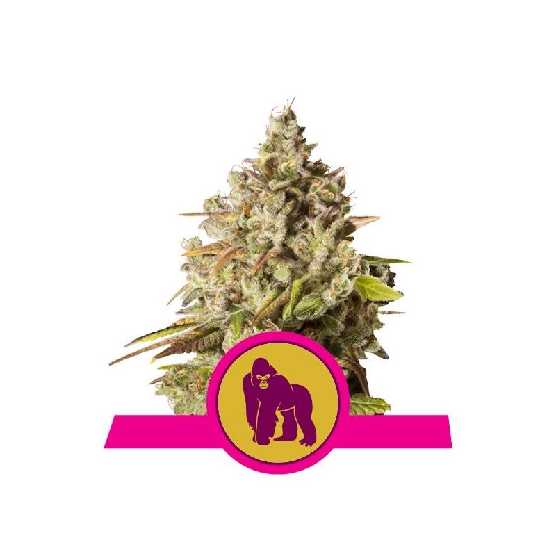 Royal gorilla royal queen seeds féminisée