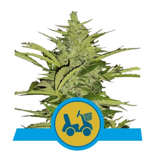 Fast eddy cbd auto royal queen seeds 25,00 €