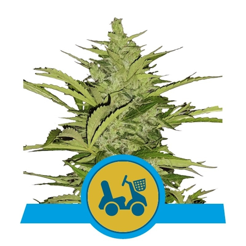 Fast eddy auto CBD royal queen seeds