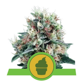 Royal creamatic auto royal queen seeds 20,00 €