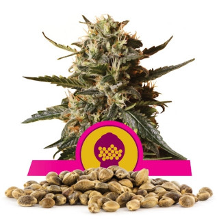 Bubble gum xl royal queen seeds