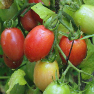 Tomate Cerise Rose Whippersnapper