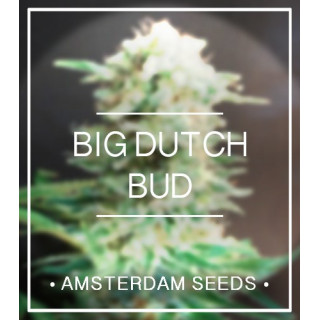 Big dutch bud amsterdam seeds