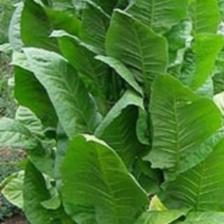 Tabacs African Red - Kokopelli 3,40€