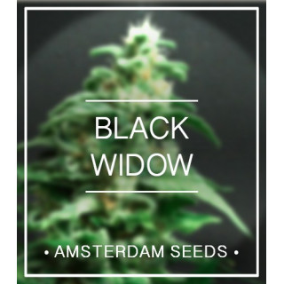 Amsterdam Seeds - Black Widow FEM 20,00 €