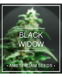Black Widow - Amsterdam Seeds 20,00 €