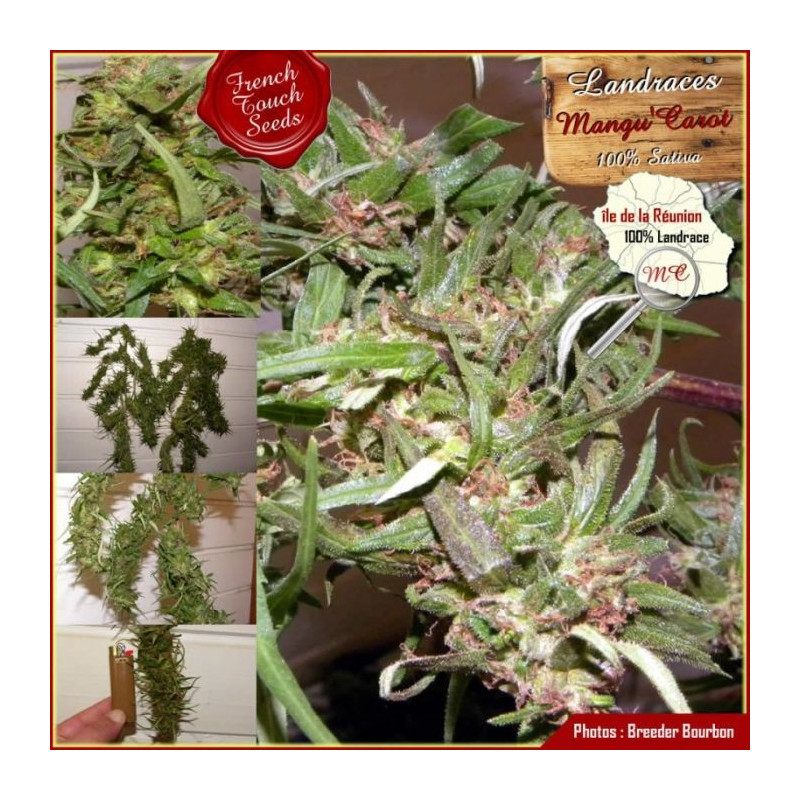 Mangu Carot - French Touch Seeds 40,00 €