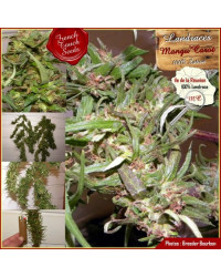 Mangu Carot - French Touch Seeds 40,00€