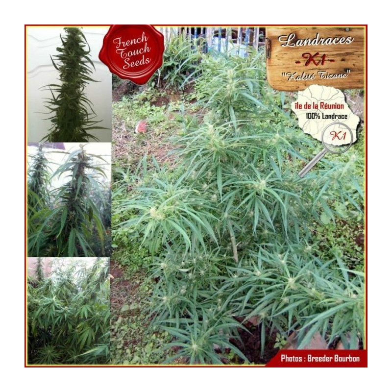 Landrace K1 - French Touch Seeds 40,00€