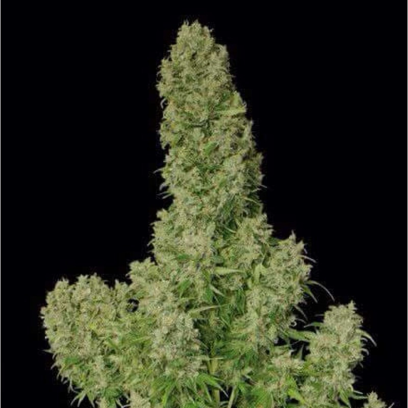Guillotine auto french touch seeds