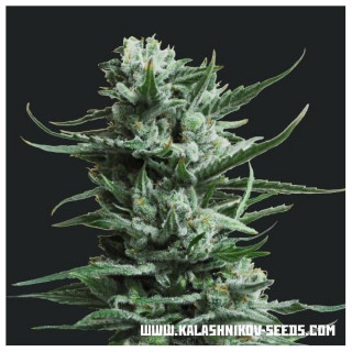 Siberian haze kalashnikov seeds 18,00€