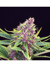 Purple kush kannabia féminisée