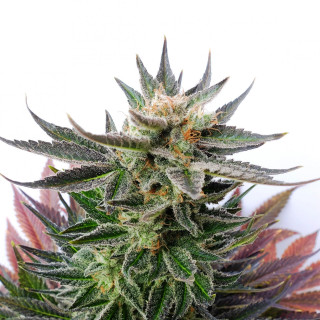 Sativa Dream - Lol - Kannabia 26,00 €