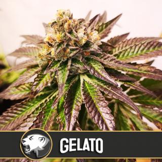 Gelato blimburn seeds féminisée