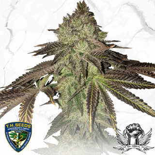 Gelato 33 x Birthday Cake - TH Seeds Limited Reg Edition 100,00 €