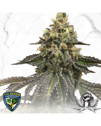 French Cookies x Birthday Cake - TH Seeds Limited Reg Edition 100,00€