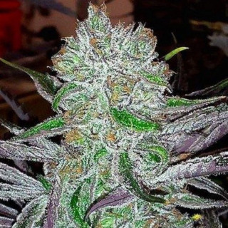Best friend OG jinxproof genetics 58,00 €