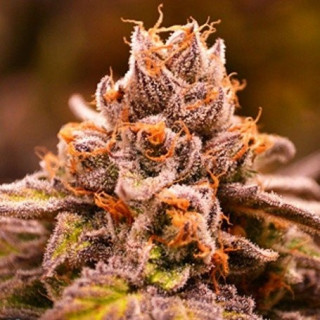 Hubba Bubba - Jinxproof Genetics 58,00 €