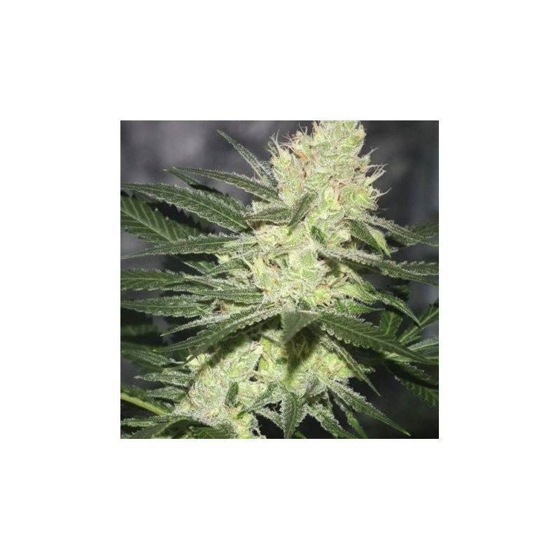 Pucker punch jinxproof genetics