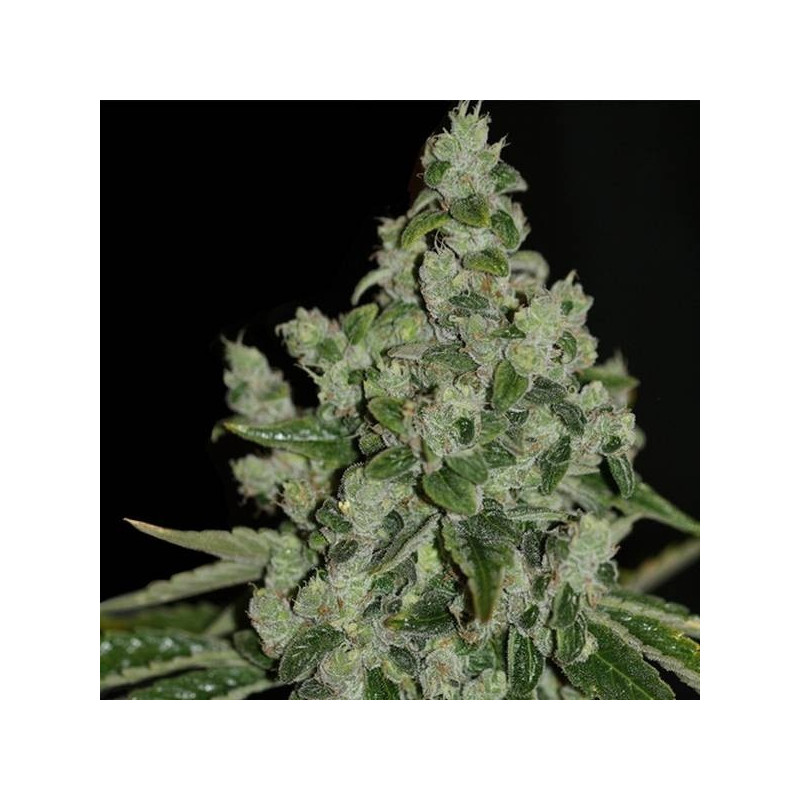 UltraSour - TH Seeds 20,00€