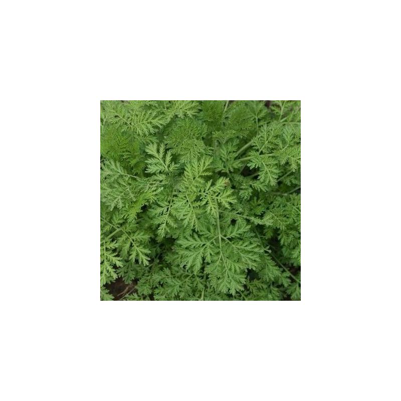 Artemisia Annua - Kokopelli