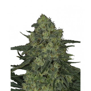 Criminal + ripper seeds 30,00 €
