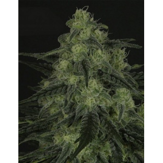 Black valley ripper seeds 18,00 €