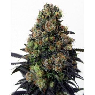 Acid Doug - Ripper Seeds 21,00 €