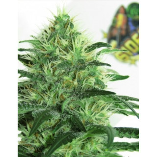 Sideral - Ripper seeds 18,00 €