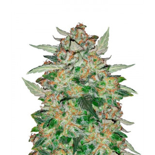Sour Blues Mephisto Genetics 34,00 €